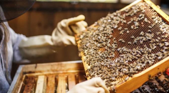 الفاو: تركيا تنتج 90 بالمئة من إجمالي عسل الصنوبر حول العالم