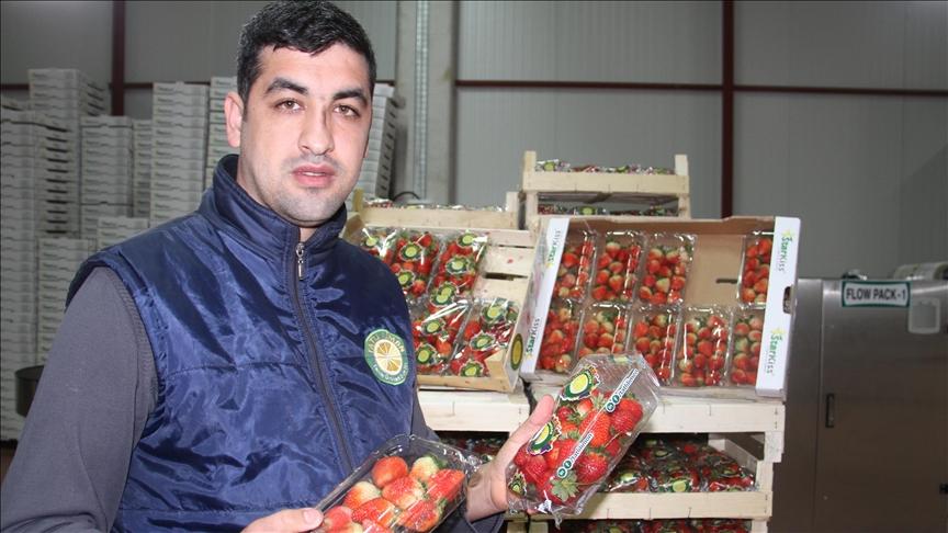 """""""الذهب الأحمر"""".. قونية التركية تصدر فراولة فريدة"""